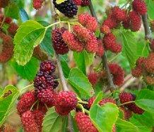 Тутовник, тутовое дерево, шелковица, тутник - размножение, посадка, выращивание, уход