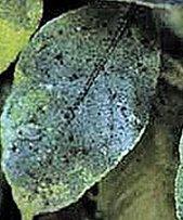 Сажистый грибок на яблоне лечение и профилактика как бороться с фото