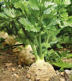 Сельдерей из семян: как вырастить дома и в открытом грунте