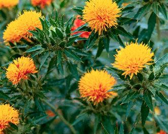 Сафлор красильный характеристика и секреты выращивания растения